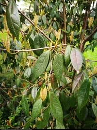 Sykopsis chiński (Sycopsis sinensis) :