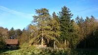 Modrzew europejski (Larix decidua) : Modrzew europejski Zbyszko wraz z także pomnikową sąsiadką - daglezją zieloną(07.05.2017)