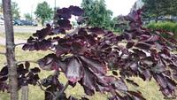 Buk pospolity odm. purpurowa trójbarwna (Fagus sylvatica var. purpurea 'Tricolor') : Liście 02.06.2017
