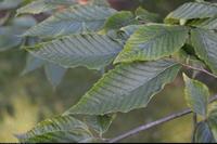 Buk wielkolistny (Fagus grandifolia f pubescens) :