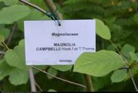 Magnolia Campbella (Magnolia campbellii) :