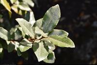 Oliwnik (Elaeagnus macrophylla) : Liście