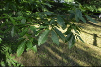 Dąb kasztanolistny (Quercus castaneifolia) : Liście