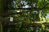 Kasztanowiec leśny (Aesculus sylvatica) :