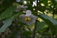 Kielichowiec chiński (Sinocalycanthus sinensis) :