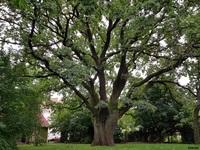 Dąb szypułkowy (Quercus robur) : 20.08.2017