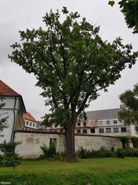 Dąb szypułkowy (Quercus robur) : 20.08.2017 - Widok z chodnika po przeciwnej stronie Węgorapy, w tle właśnie remontowany zamek.
