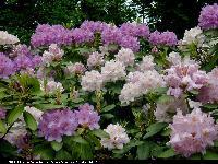 Różanecznik (Rhododendron) : Grupa kwiatów 2004.06.11