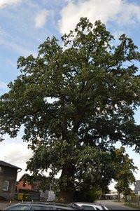 Dąb szypułkowy (Quercus robur) : Drzewo 2018.06
