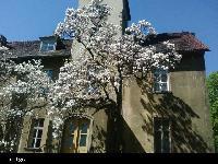 Magnolia pośrednia (Magnolia soulangiana ) :