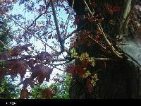 Klon zwyczajny(odmiana czerwonolistna) (Acer platanoides) :