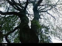Buk zwyczajny (Fagus sylvatica) :