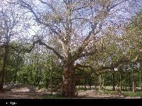 Platan klonolistny (Platanus acerifolia) :