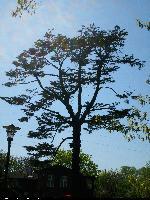 Jodła kalifornijska (Abies concolor) : 2009.05.03
