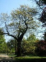 Dąb czerwony (Quercus rubra) : 2009.05.03