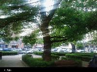 Klon jawor (Acer pseudoplatanus ) : w głębi po prawej stronie pomnik przyrody Klon zwyczajny