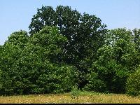 Dąb szypułkowy (Quercus robur) : Drzewo (15 VII 2009)