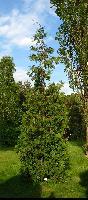 Żywotnik pośredni (Thuja ×plicatoides) : Drzewo (17 V 2009)