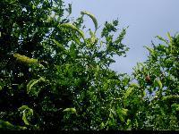 Lipa szerokolistna odm. strzępolistna (Tilia platyphyllos 'Laciniata') :