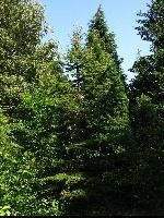 Cedr libański (Cedrus libani) : Największe drzewo (2 VIII 2009)