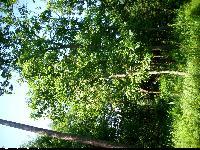 Dąb wielkoowocowy (Quercus macrocarpa) : Drzewo (2009-07)