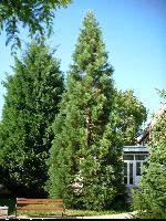 Mamutowiec olbrzymi (Sequoiadendron giganteum) : Drzewo (2009.09.01)