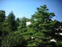 Sosna armanda (Pinus armandii) : drzewo (najbardziej po prawej) 2009.09.01