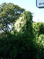 Cedr libański (Cedrus libani) : Drzewo całkowicie porośnięty rdestem (2009.09.01)