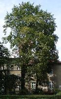 Klon pospolity 'Cucullatum' (Acer platanoides 'Cucullatum') :