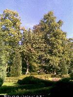 Magnolia drzewiasta (Magnolia acuminata) : Drzewo (obok Miłorząb) 2009.09.19