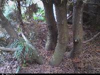 Sosna błotna (Pinus mugo nothosubsp. rotundata) : Pnie (24 IX 2009)