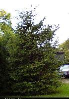 Choina kanadyjska (Tsuga canadensis) : Drzewo (3 X 2009)