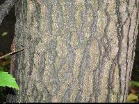 Dąb libański (Quercus libani) : Kora (2009.10.20)