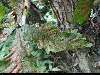 Dąb mongolski ? (Quercus mongolica ssp. crispula (Blume) Menitsky) :