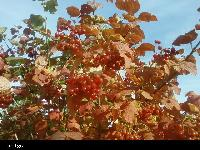 Kalina koralowa (Viburnum opulus ) :