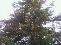 Daglezja zielona (Pseudotsuga menziesii) :