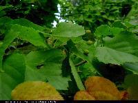 Lipa japońska (Tilia japonica) : Liście i owoce