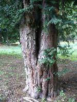 Cis pospolity (Taxus baccata) : Okaz żeński