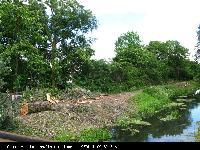 Topola biała (Populus alba) : Czerwiec 2009