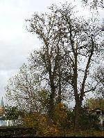 Topola biała (Populus alba) : Topola biała (po lewej) po której ścięty pień jest widonczy od góry na jednym ze zdjęć (19.X.2008)