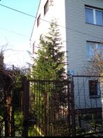 Cyprysowiec Leylanda (Cupressocyparis leylandii) : Drzewo (2009-11-21)