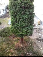 Cyprysik Lawsona (Chamaecyparis lawsoniana) : Drzewo (24-11-2009)
