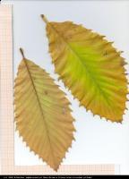 Dąb pontyjski (Quercus pontica) : Okaz 2 liście (2009.10.14)