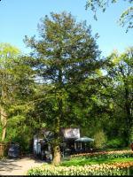 Choina kanadyjska (Tsuga canadensis) : Drzewo (26 IV 2009)