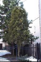 Platycladus orientalis (Biota wschodnia) : Drzewo (29 XII 2009)
