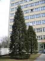 Mamutowiec olbrzymi (Sequoiadendron giganteum) :