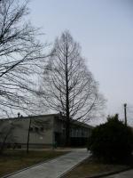 Metasekwoja chińska (Metasequoia glyptostroboides) :