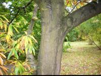 Dąb leana (Quercus x leana) : Drzewo (jesień) 2009