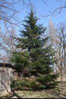 Daglezja zielona (Pseudotsuga menziesii) : Drzewo (2010-04-04)