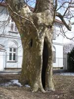 Platan klonolistny (Platanus x hispanica 'Acerifolia') :